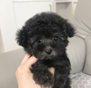 EXTREMELY RARE Teddy bear BLACK TEACUP TOY POODLE