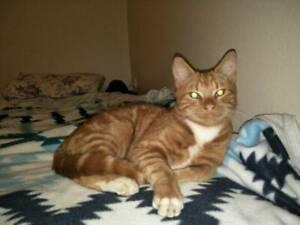 Kitten Ginger male