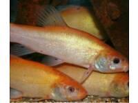 Orange Tench pond fish for sale