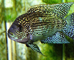 Looking for female cichlids I'm the fellow breeds