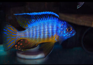 SELLING WILD CAUGHT MIDNIGHT HUESERI LIKOMA BREEDING GROUP!