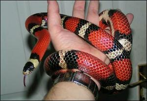 Beautiful 4 year old milk snake