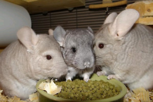 Wanted..Would Love to Adopt a Chinchilla