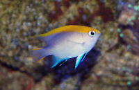 Bluefin Damselfish for saltwater aquarium