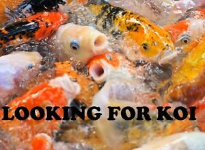 Looking for Koi or similar