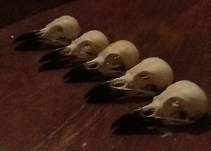 5 lots Real magpie crow skull Wicca goth  pagan Curo taxidermy arts craft bird