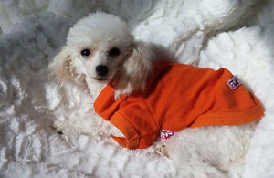 LITTLE TEACUP POODLE GIRL AVAILABLE FOR THE RIGHT HOME