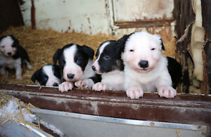 Working dogs - Puppies For Sale