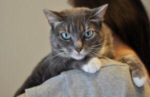 chat tigré gris DÉGRIFFÉ - DECLAWED tabby grey cat