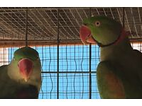 Pair of Alexandrian Parrots