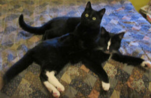 2 KITTIES - Both Boys/Brothers Black + TUXEDO 11 months Together