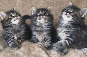 Vaccinated Male Hypoallergenic Siberian Kittens