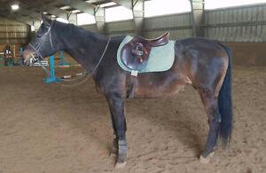 Beautiful Warmblood mare looking for pleasure home