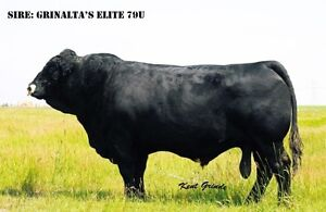 SIMMENTAL BULLS for sale-RED PB/POLLED FF