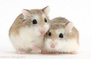 ❤ Robo (Roborovski) Dwarf Hamsters! $15 ❤