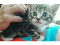 Beautiful boy tabby kitten