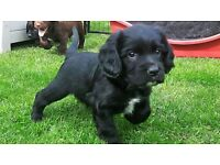 Gorgeous Cocker Spaniel Puppy READY NOW due to being let down