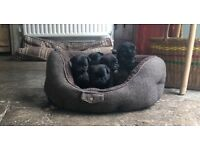 KC Registered Pedigree Black Pug Puppies. Perfect conformation.