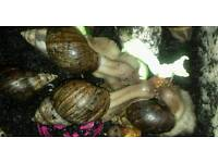 GIANT AFRICAN LAND SNAILS NEEDING HOMES ASAP