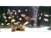 Mixed Malawi cichlids