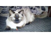 Beautiful 1 year old Ragdoll male cat for sale