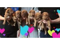 Dog de Bordeaux puppies for sale !!