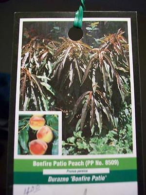 Patio Fruit Tree - 3'-4' Bonfire Patio Peach Fruit Tree Plant Trees NOW Ship To All 50 States USA !