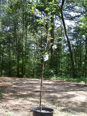 Fruit Tree Orchard - 4'-5' live Fuji Apple Fruit Tree 5g Trees Plant Sweet Juicy Apples Orchard Home
