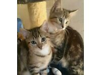 Kittens Bengal x british short hair £350 each