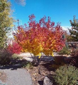 Hot Wings Maple -- Red Winged seeds & Red Fall colour.  Zone 2 hardy. 6-8 foot trees.  20 feet at maturity.