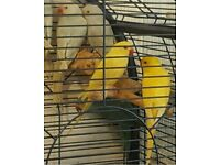 "Green/Blue/Yellow/White redneck RING mix NECK ""cockatiel like"" talking pet bird + cages from £20"
