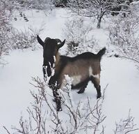 Year old Alpine Buck for sale