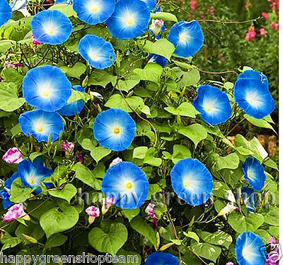 TALL MORNING GLORY - Heavenly Blue - Ipomoea purpurea 120 SEEDS - ANNUAL FLOWER  - Morning Glory Ipomoea Purpurea