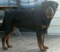 CKC Registered Rottweiler Pups