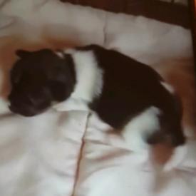 3/4 chihuahua pups