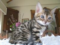 PURE SNOW BENGAL KITTENS, TICA REGISTERED