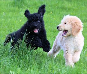 F1B GoldenDoodles - View & Pick-Up a Goldendoodle Today