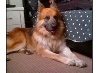 Prue pedigree German Shepherd