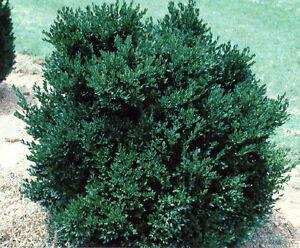 Green velvet boxwood low maintenance evergreen live plants for Low maintenance evergreen shrubs