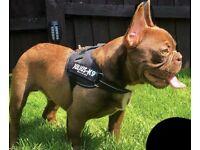 French Bulldog- Unique Isabella new shade creator - Ultra Rare DNA