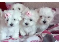 SMALL TYPE MALTESE puppies *one boy and one girl left*