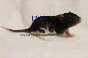 Blue Moon Rattery has one male baby rat available