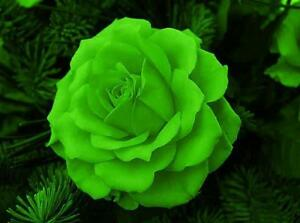ROSA-VERDE-GREEN-ROSE-10-SEMI