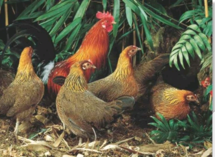 Wanted: Wanting to buy Red Jungle Fowl