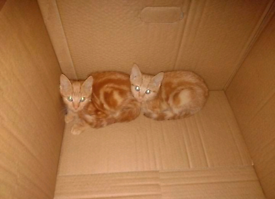 Solid ginger kittens for sale!