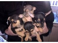 3/4 Chihuahua 1/4 Jackrussell Puppies