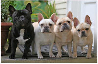 Can't keep your French Bulldog? Loving home available : )