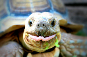 Looking for a Male hermann's tortoise