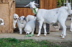 Great Pyrenees  Farm/ Family Dog Puppies