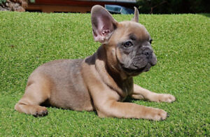 Beautiful Rare Blue sable French Bulldog Puppies for sale